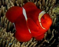 Spinecheek Anemonefish Immagine Stock Libera da Diritti
