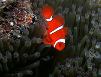 Spinecheek Anemonefish Royalty Free Stock Image