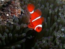 Spinecheek Anemonefish Imagen de archivo libre de regalías