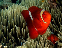 Spinecheek Anemonefish Stock Images