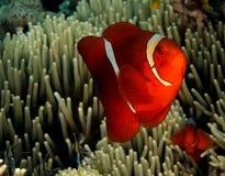 Spinecheek Anemonefish Immagini Stock