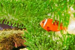 Spinecheek anemonefish Royalty Free Stock Photo