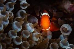 Spinecheek Anemonefish e tentacoli in Papuasia Nuova Guinea fotografie stock libere da diritti