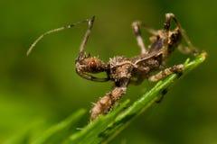 Spined-Meuchelmörder Bug auf grünem Blatt stockfotografie