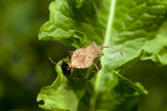 Spined stink bug Royalty Free Stock Photo