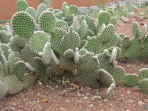 Spineless Cactus, also called hairless Royalty Free Stock Photos