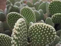 Spineless Cactus, also called hairless Stock Photos