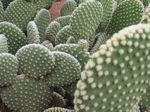 Spineless kaktus, także nazwany bezwłosy Zdjęcia Royalty Free