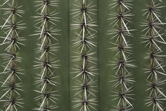 Spines of a cactus stock photo