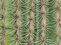 Spines On Cactus Royalty Free Stock Photos