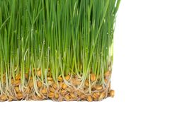 Spines of germinated wheat are intertwined with roots. On a white background Royalty Free Stock Photo