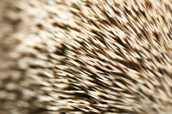 Spines of a hedgehog Stock Images