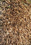Spines on a hedgehog erinaceus europaeus Royalty Free Stock Photo