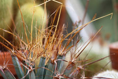 Spines of a leuchtenbergia principis cactus. Closeup of the spines of a leuchtenbergia principis cactus stock photos