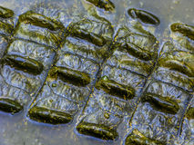 The spines and ridges on a the back of a live crocodile. A close-up pic of the back of a live crocodile, partly submerged showing detail of the bumps, spines and Royalty Free Stock Image