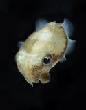 Spinesless bläckfisk, sepiellainermis Arkivfoton