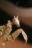 spiney mantis цветка Стоковая Фотография RF
