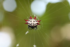 Spiney orb weaver spider. A picture of a spiney orb weaver spider on a web stock photos