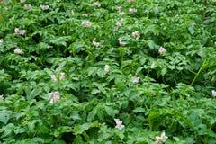 sping aardappelsbloemen Royalty-vrije Stock Afbeelding