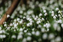 Sping blomma för snöflinga Royaltyfria Bilder