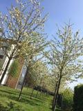 sping blommaträd Fotografering för Bildbyråer