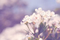 Sping Flowers Royalty Free Stock Photography