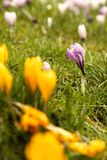 Sping flowers in Kelvingrove Park in Glasgow royalty free stock photography