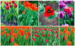 Sping flowers tulips Stock Images