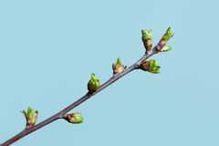 Sping Green Branch Royalty Free Stock Photography
