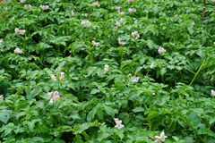 sping potatoes flowers Royalty Free Stock Image