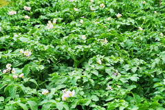 sping potatoes flowers Stock Photography