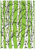 Sping vector illustration of beech trees forest. Beautiful birch trees. Stock Photos