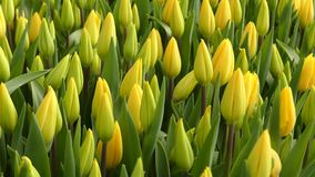 Sping yellow tulips stock video footage