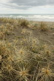 Spinifex grass growing on sandy beach Royalty Free Stock Image