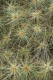 Spinifex huvud Royaltyfria Bilder