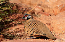 Spinifex Pigeon Royalty Free Stock Photography