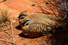 Spinifex pigeon. Two spinifex Pigeons in Central Australia Stock Image