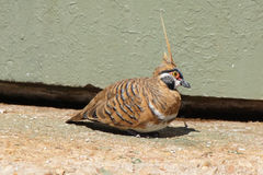 Spinifex Pigeon, Australia Royalty Free Stock Images