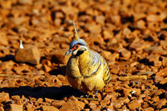 Spinifex pigeon foraging on ground, Purnululu National Park Stock Images