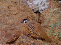 The Spinifex Pigeon Stock Images
