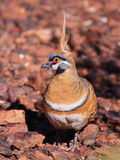Spinifex pigeon, Geophaps plumifera Royalty Free Stock Images