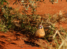 Spinifex Pigeon Stock Photos