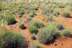 Spinifex in Red Centre, Australia Stock Photos