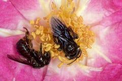 Spinipes de la abeja Arapua - de Trigona - cierre de polinización del extremo de la flor para arriba Foto de archivo