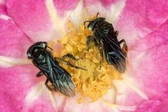 Spinipes de la abeja Arapua - de Trigona - cierre de polinización del extremo de la flor para arriba Imagen de archivo