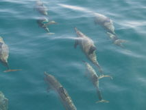 Spinnaredelfin Royaltyfria Bilder