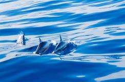 Spinnaredelfin av kust av Kauai Royaltyfri Bild