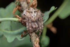 Spinne - Araneus Angulatus Lizenzfreies Stockfoto