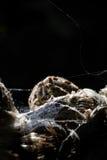 Spinne (Araneus diadematus) Stockfotografie