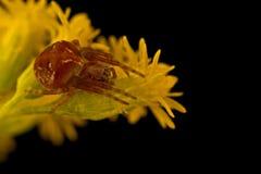 Spinne Araneus sturmi Stockbilder